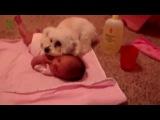 Веселая подборка собак, которые защищают детей